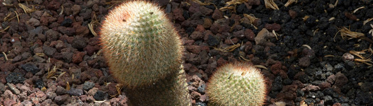 Cacti growing out of the ground.