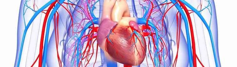 Illustration of the heart and cardiovascular system.