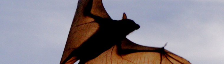 Lyssavirus is carried by bats in Australia.