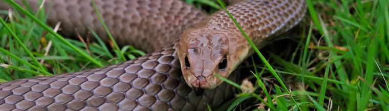 Brown snake.