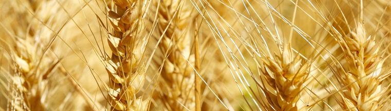 Wheat field - A gluten free diet can help manage coeliac disease or gluten intolerance.