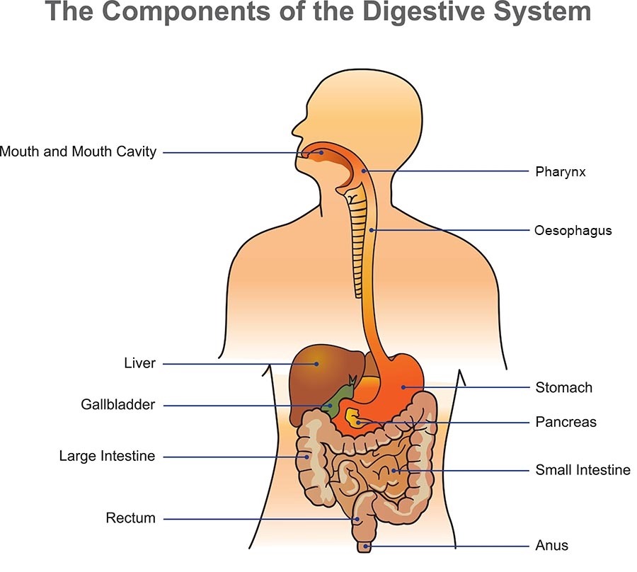 Digestive system | healthdirect