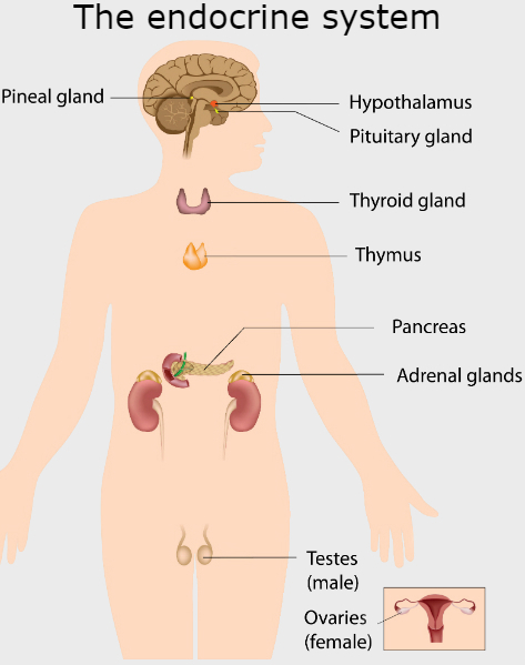 thyroid gland | healthdirect, Human Body