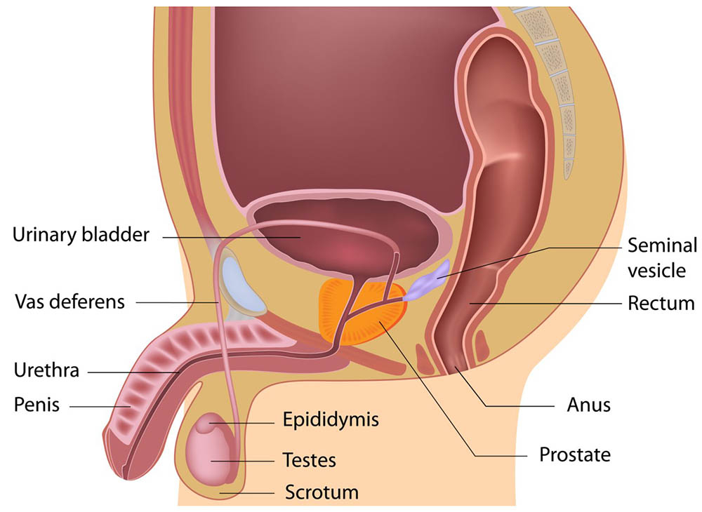 Male reproductive system | healthdirect
