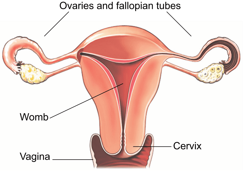 A picture of the vagina
